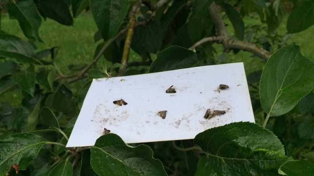 7 Apfelwickler kleben auf Papier