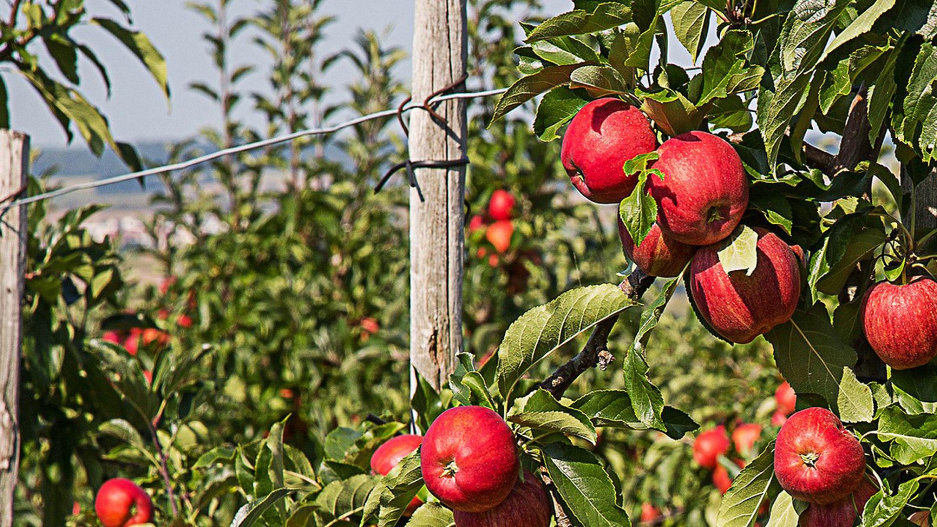 Äpfel an Zaun
