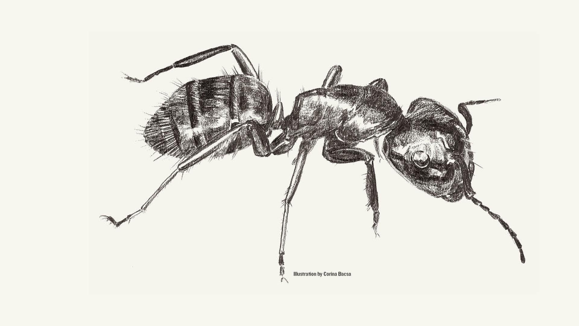 Ameise schwarz-weiss