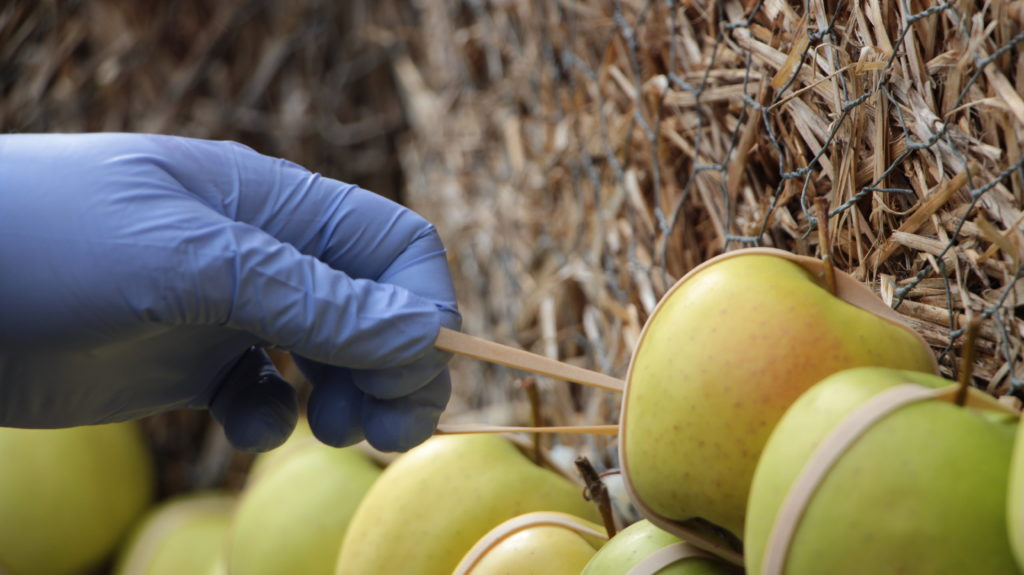 Äpfell werden mit Gummi befestigt