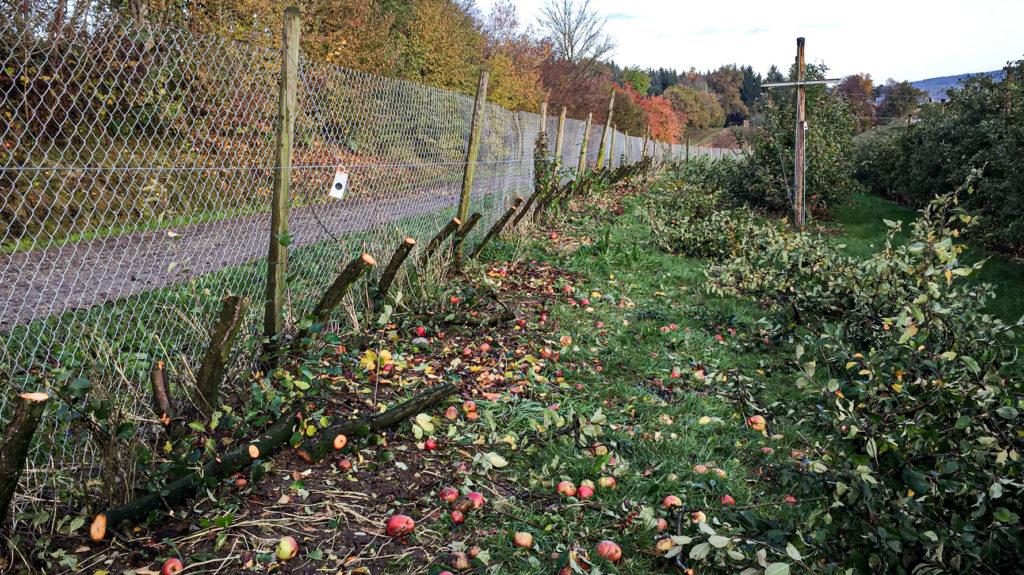 Abgeschnittene Apfelbaumstämme
