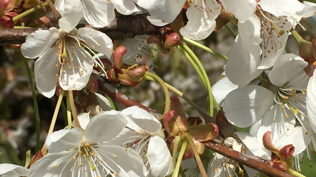 Apfelblueten gefaerdet