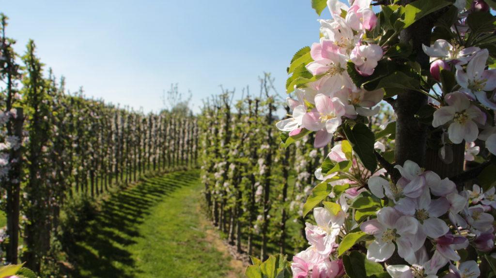 Apfelgarten Blueten