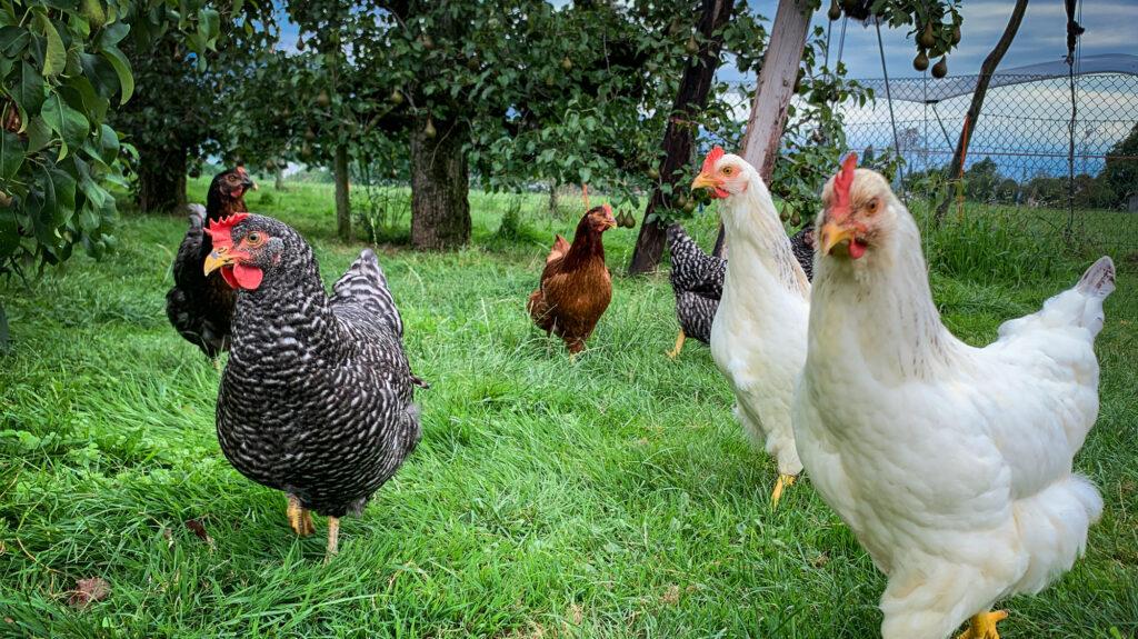 Bächlihof Hühner