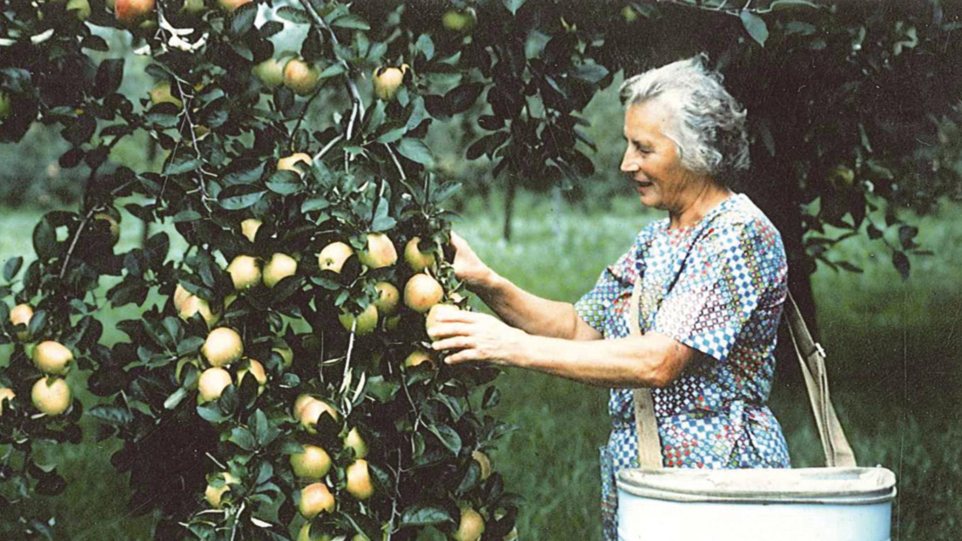 Alte Bäuerin pflückt Äpfel