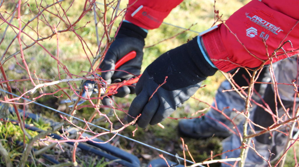 Gartenschere Heidelbeeren schneiden