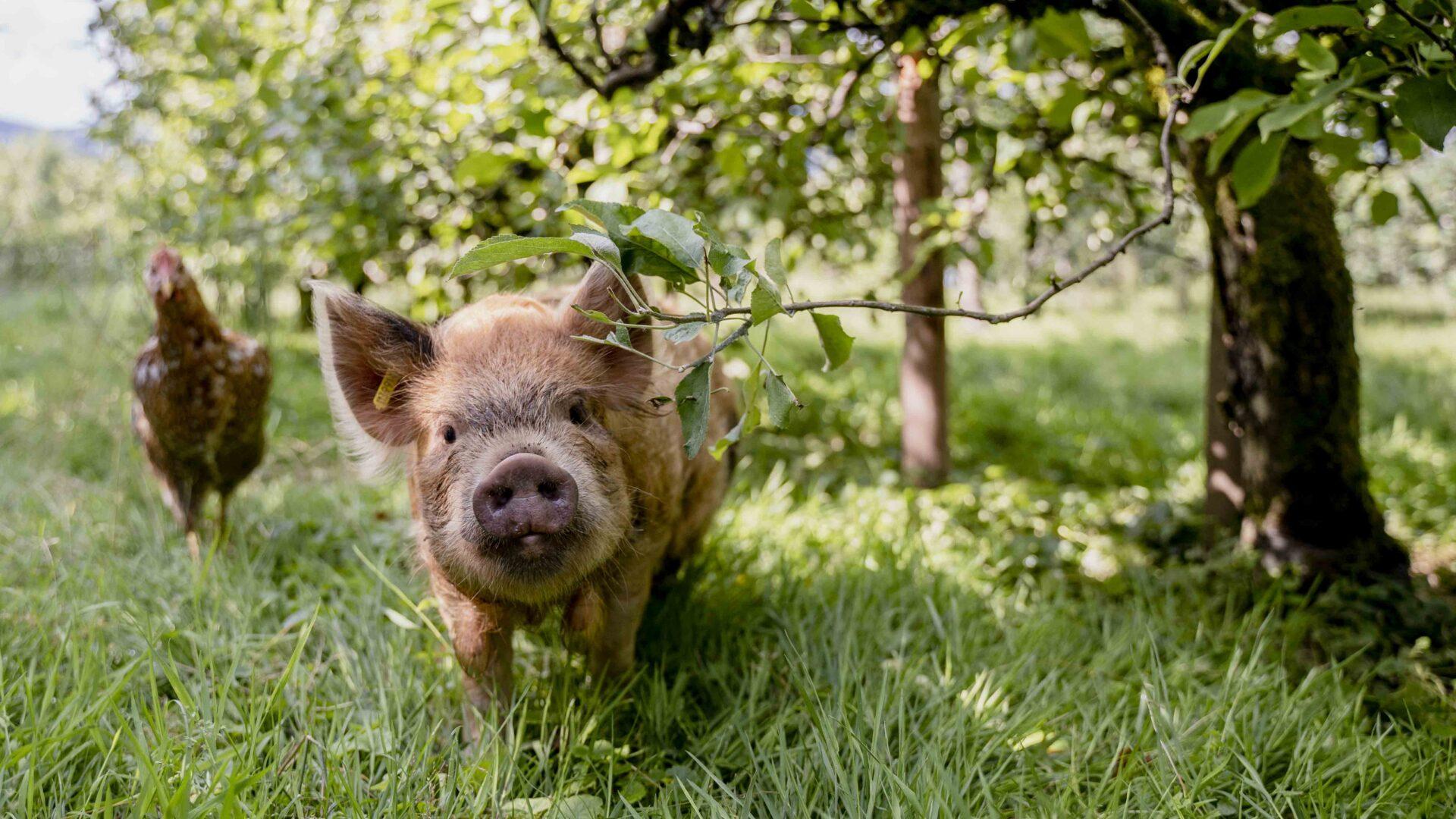 Bächlihof Schweine Obstbau 6