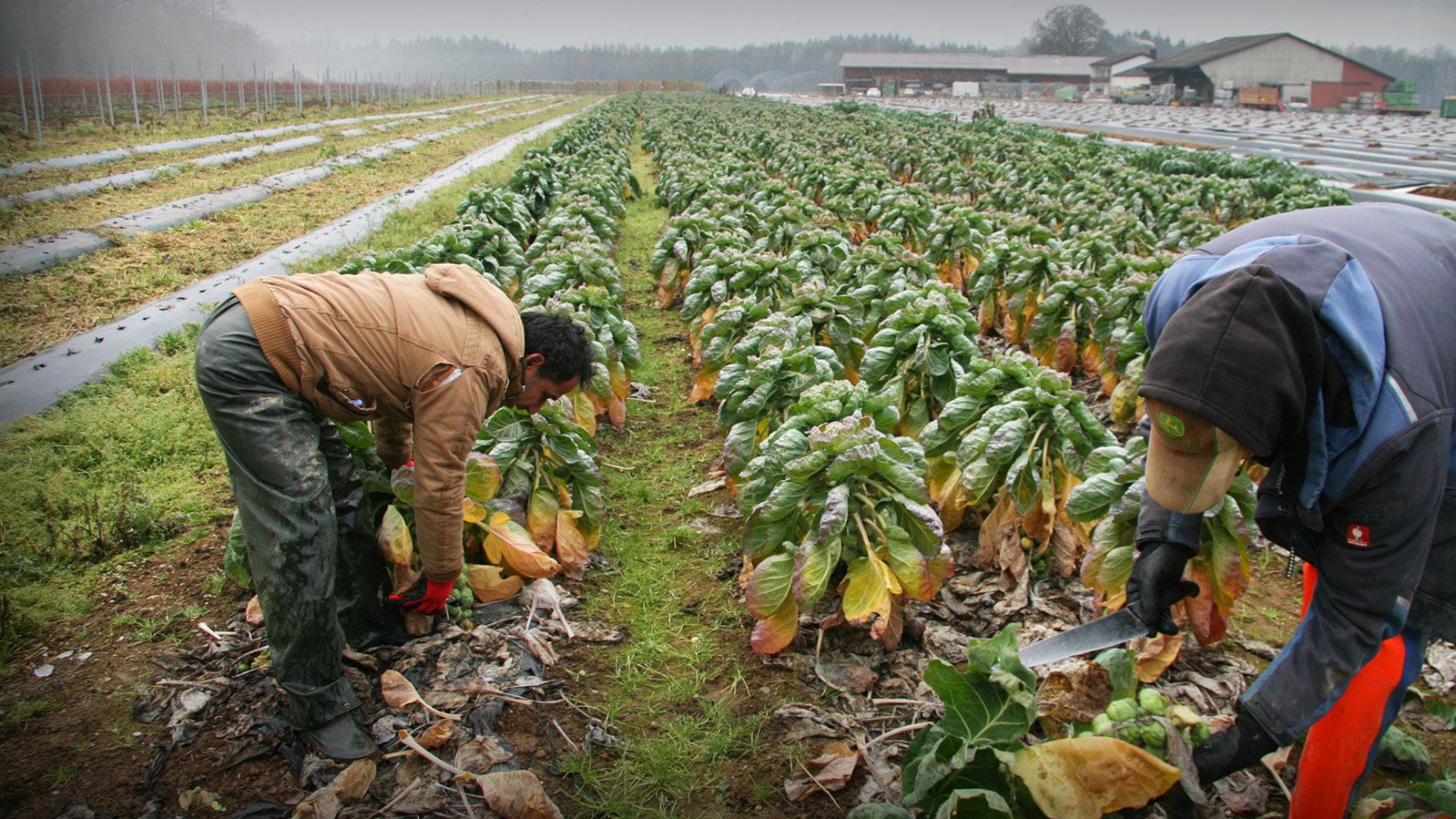 Bauern arbeiten auf dem Feld - Ernten Rosenkohl
