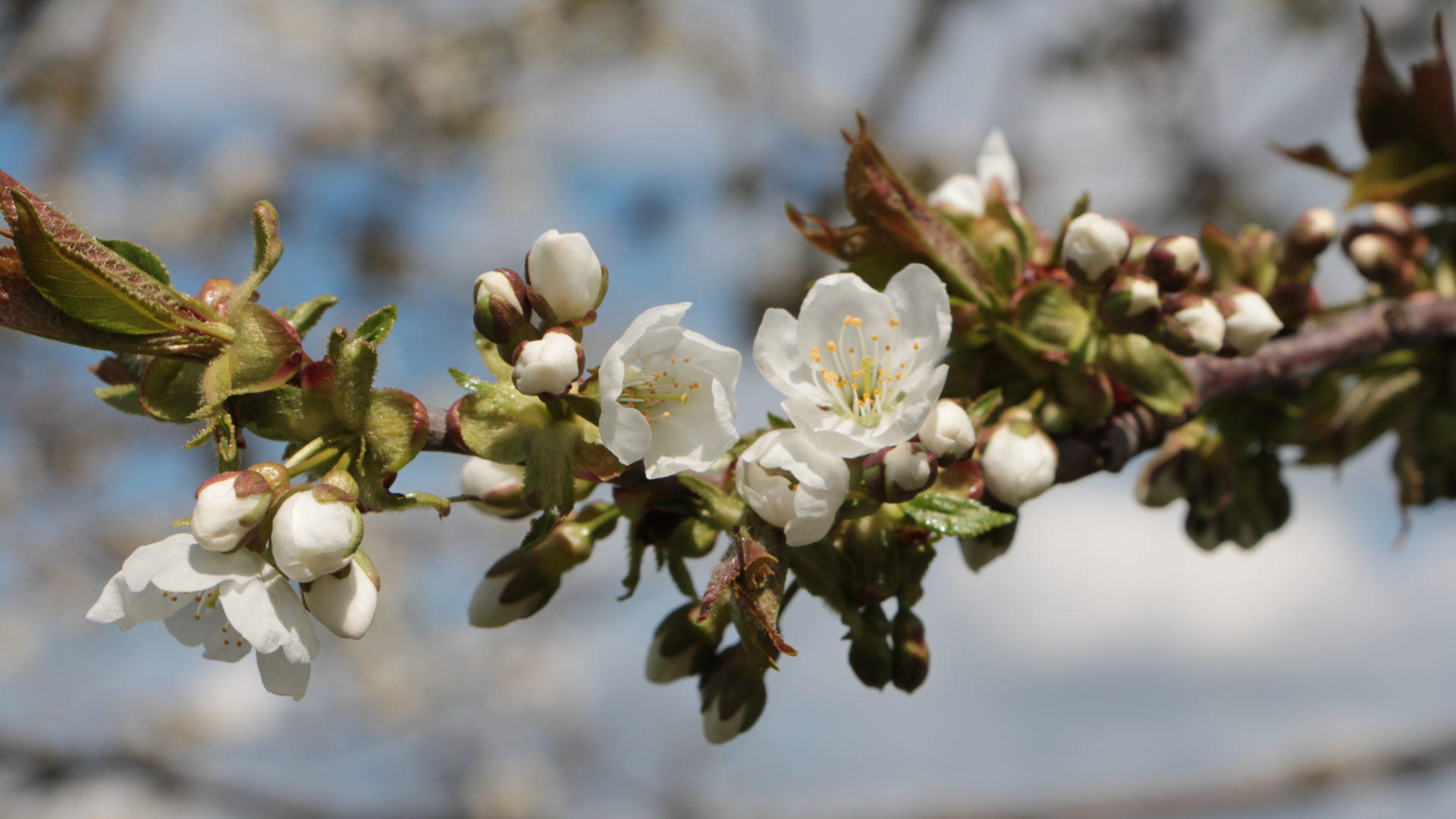 Bluete Apfelbaum Frost