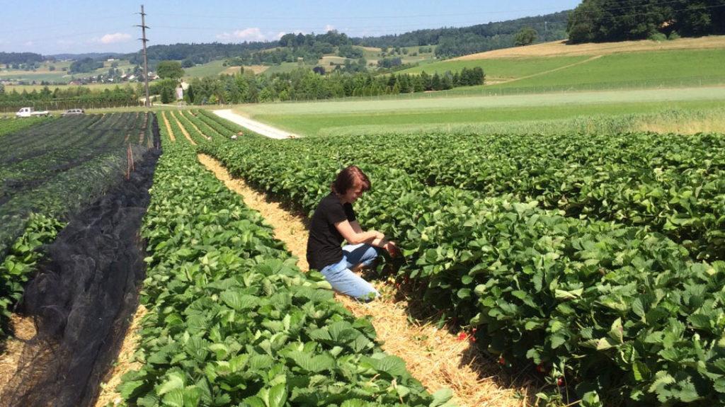 Frau am Ernten im Erdbeerfeld