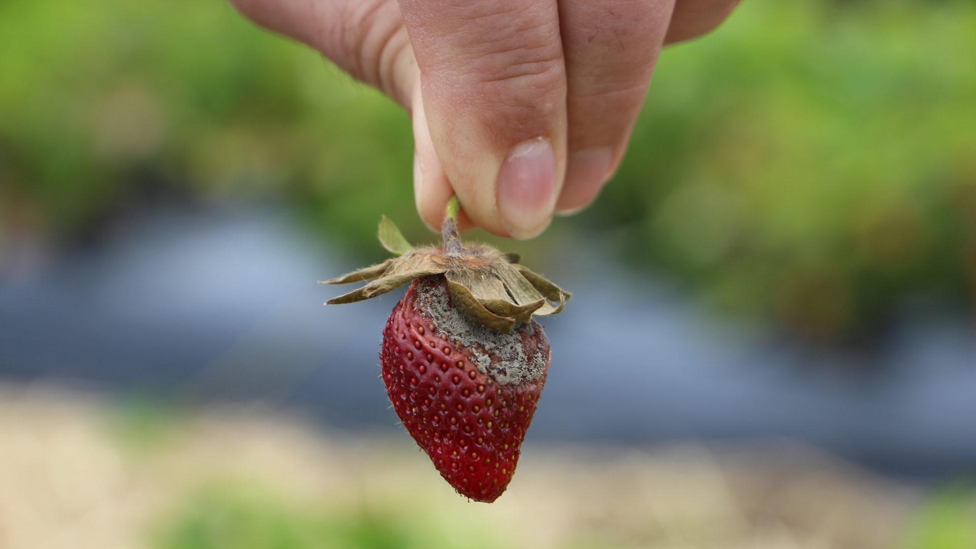 Faule Erdbeeren