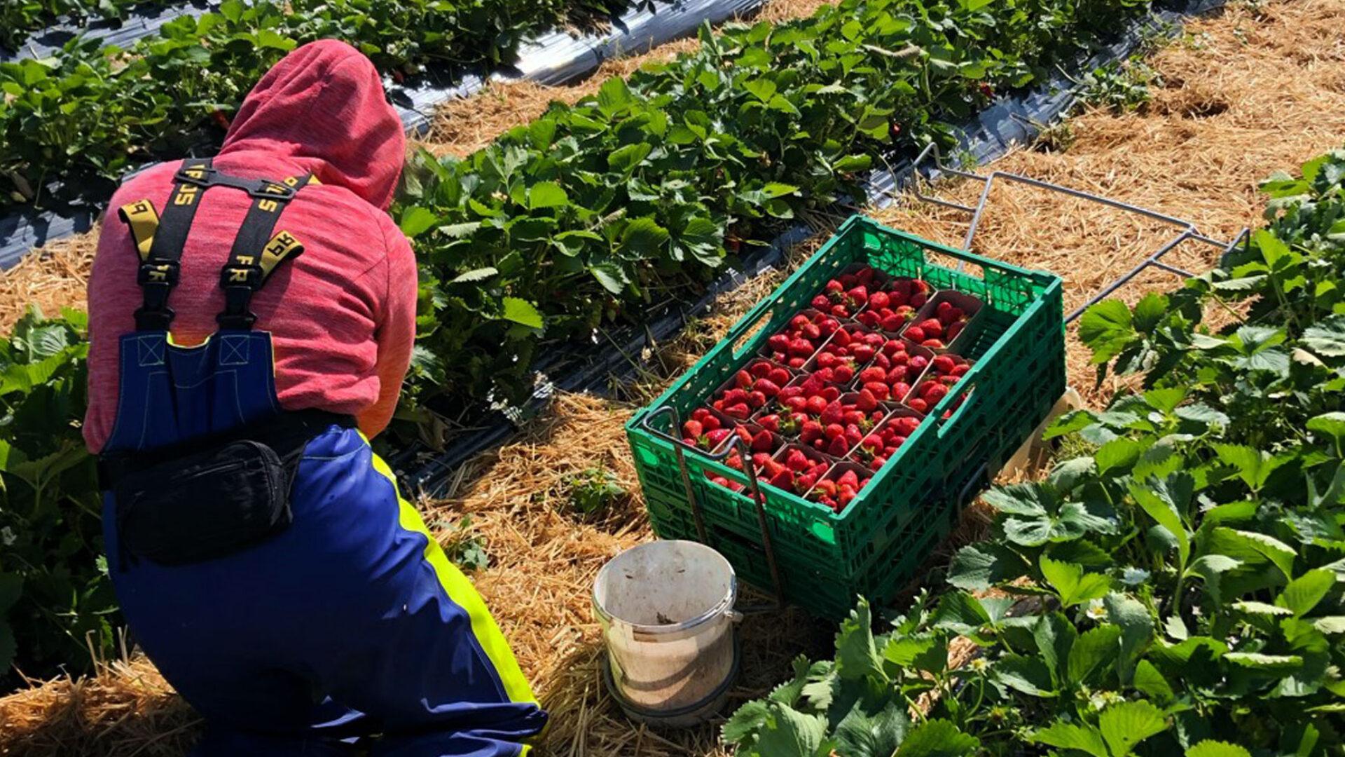 Herbizid freie Erdbeeren