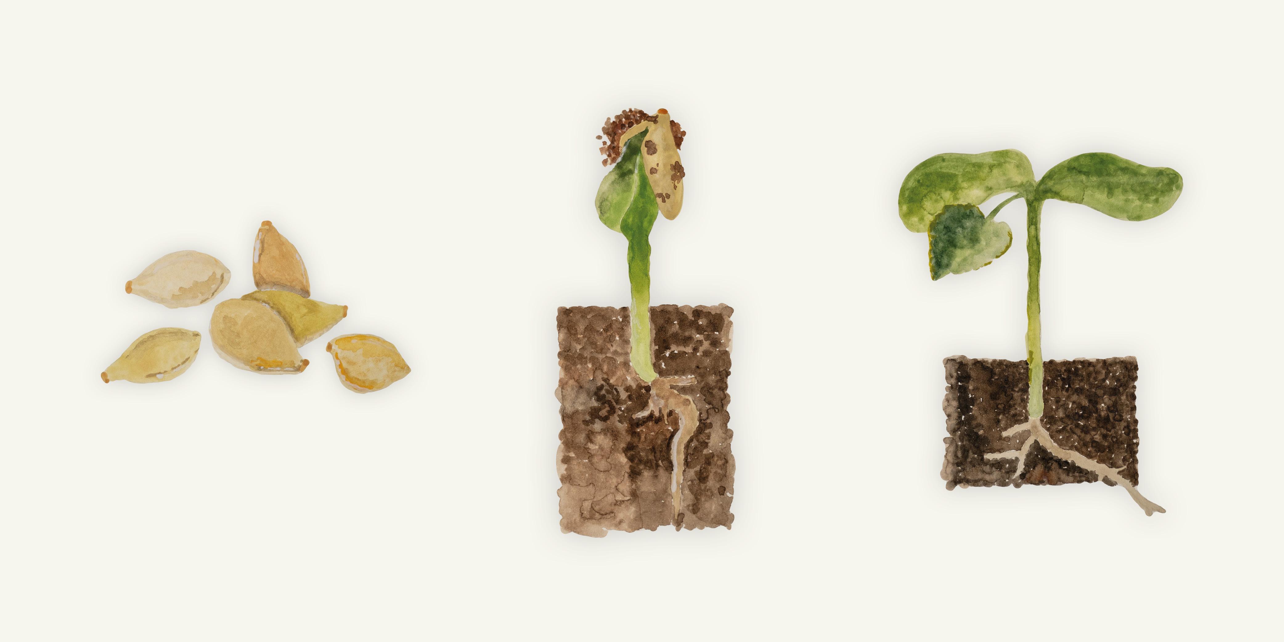 Vom Samen zum kleinen Pflänzchen
