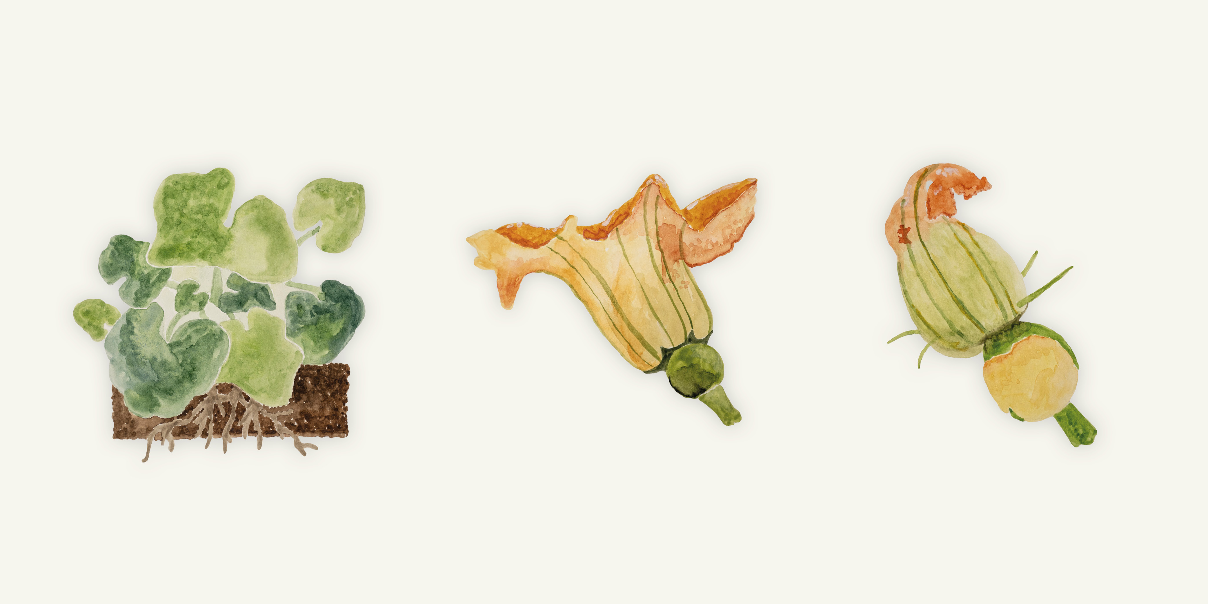 Kürbispflanze im Wachstum
