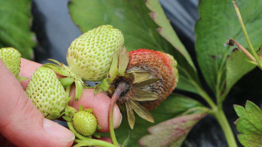verfaulte und unreife Erdbeeren