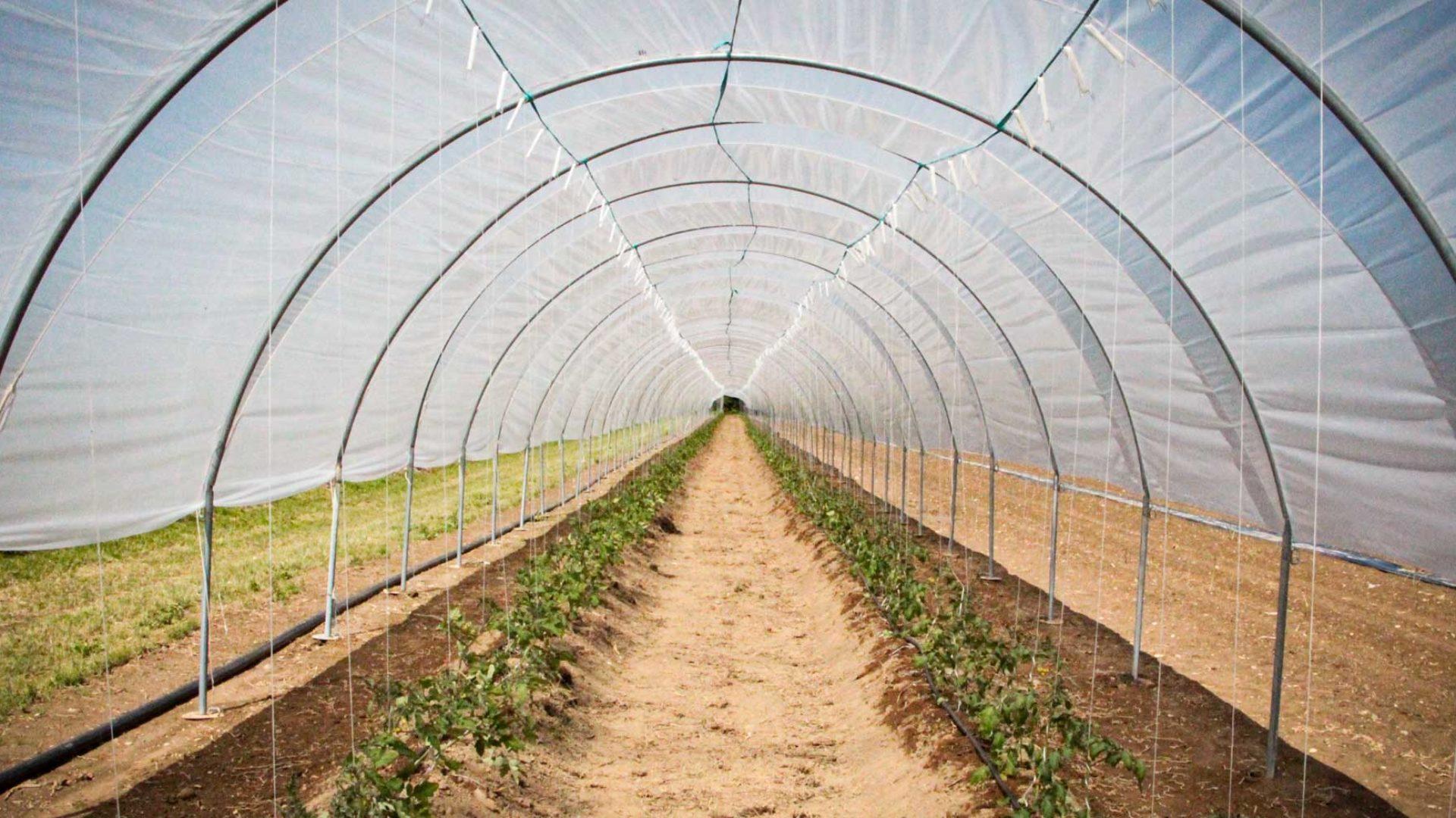 Folientunnel Tomatenpflanzen