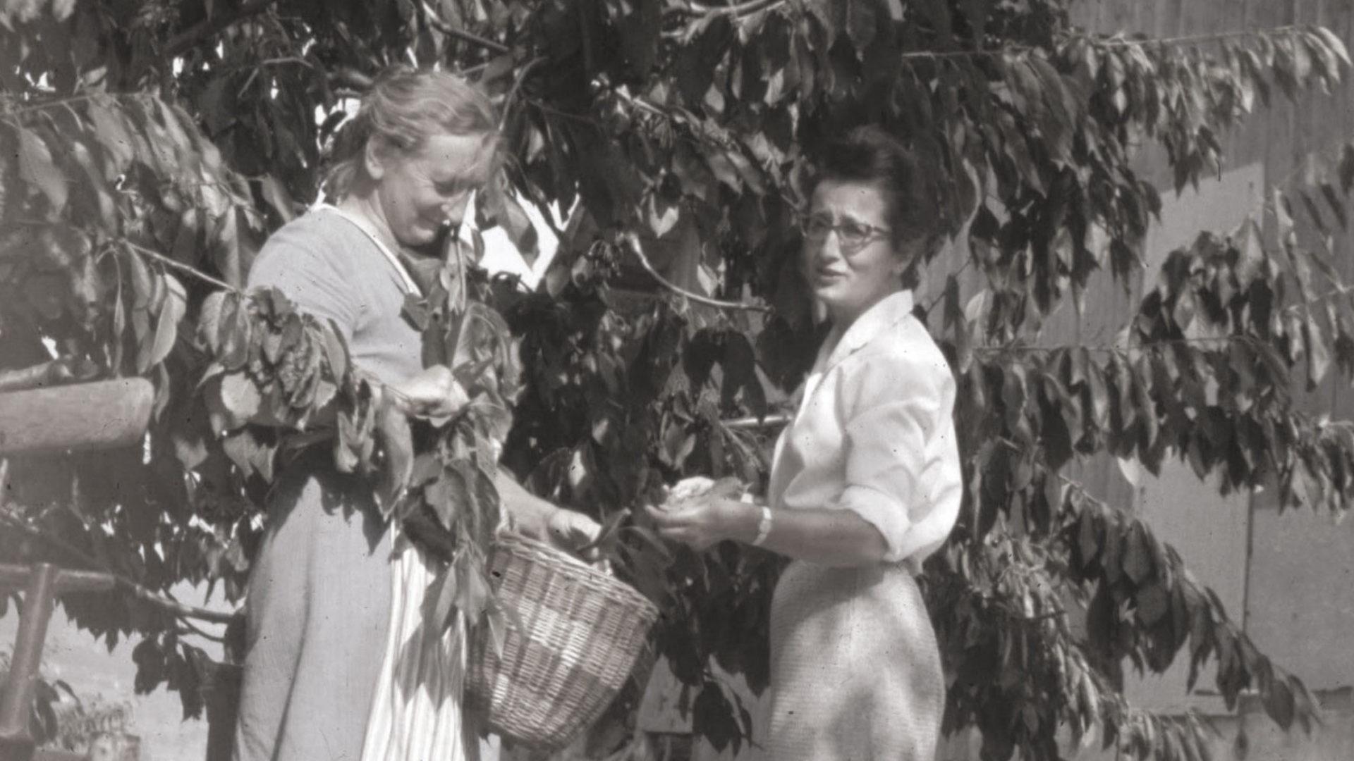 Frauen am Kirschenpflücken