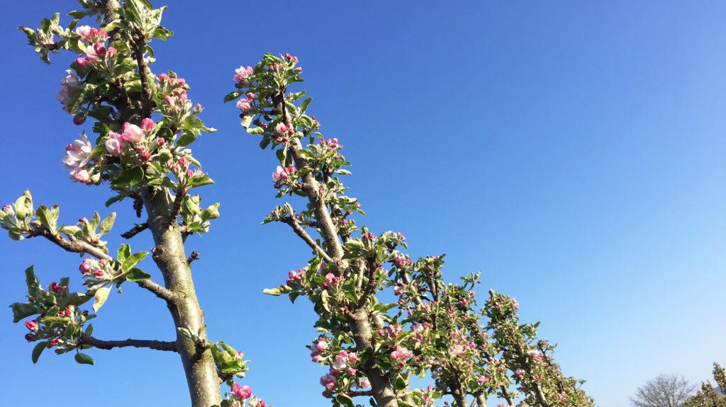 Säulenbäume kurz vor Blüte