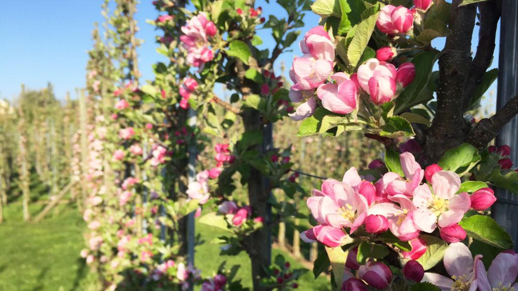 junge Blüten Apfelgarten