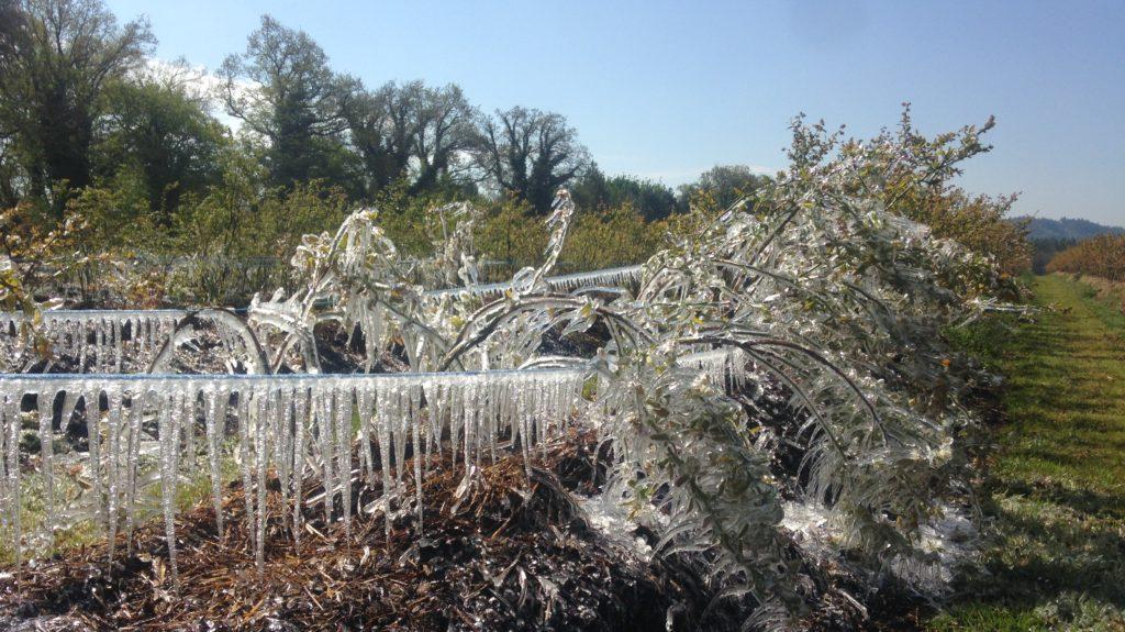 Frost Heidelbeeren