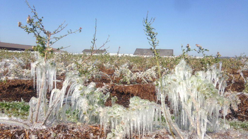 Frostberegnung Heidelbeeren