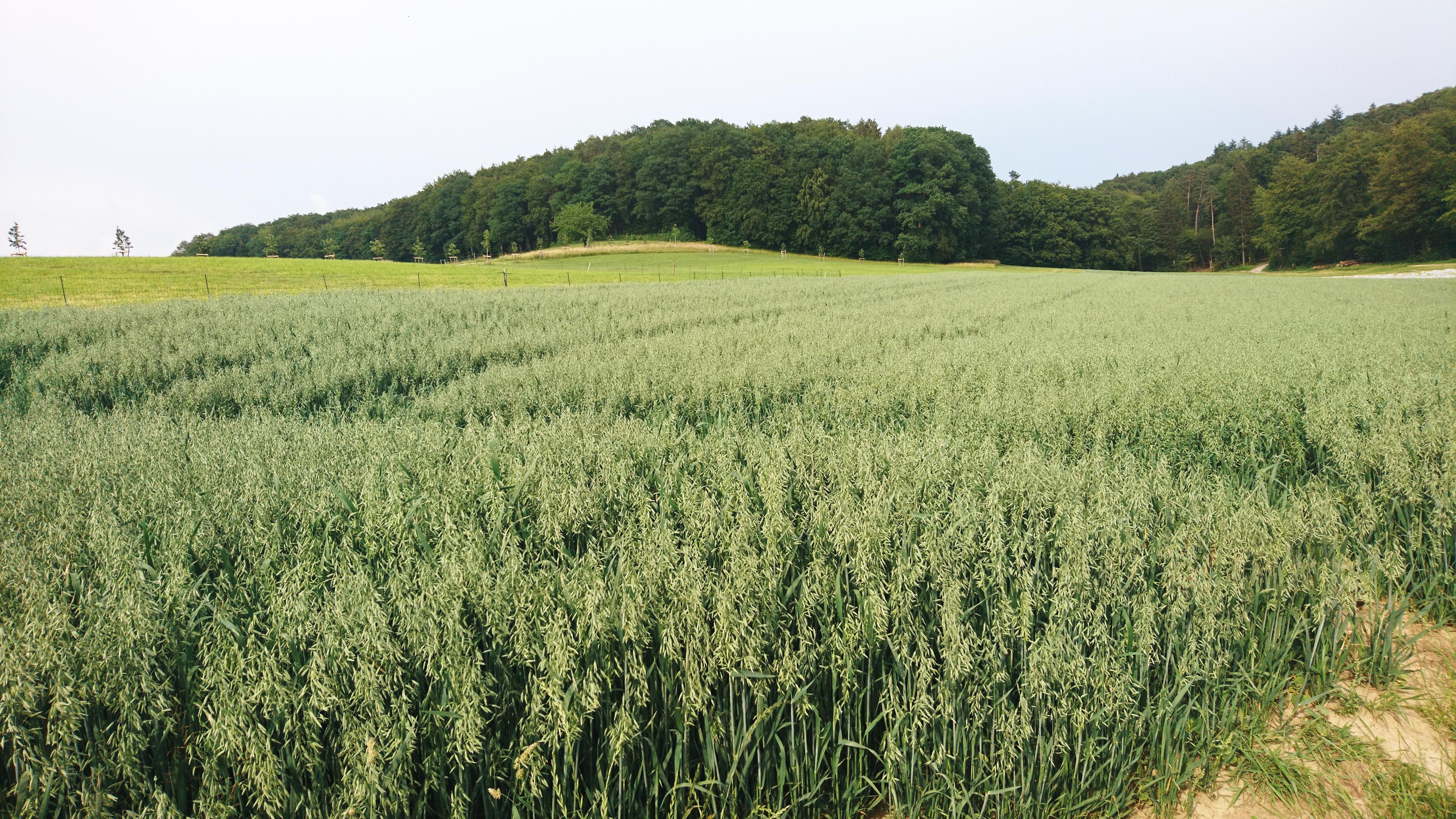 Hafer Rafzerfeld Spargelhof Rafz 9