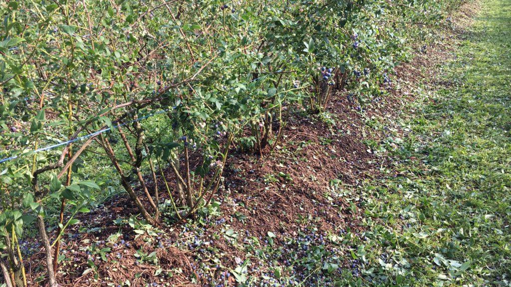 Heidelbeeren Am Boden