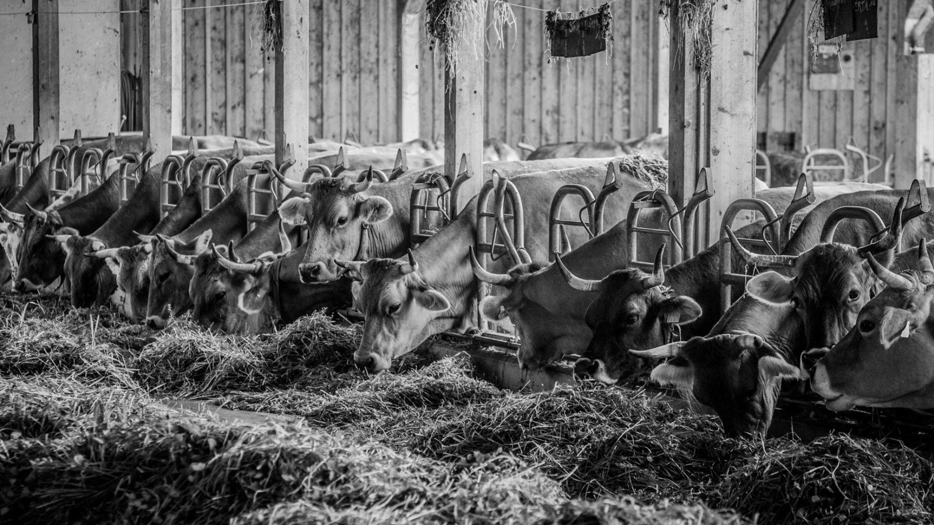 Hornkühe im Stall