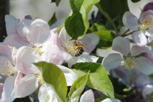 Juckerhof ÖpfelGarte Biene