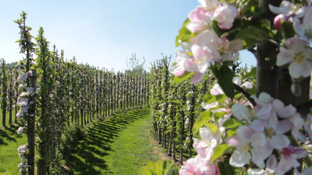 Juckerhof ÖpfelGarte Blütezeit
