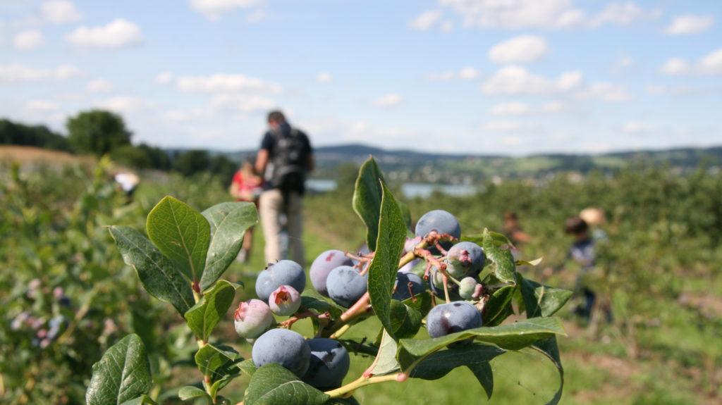 Juckerhof Selberpflücken Heidelbeeren Seeblick
