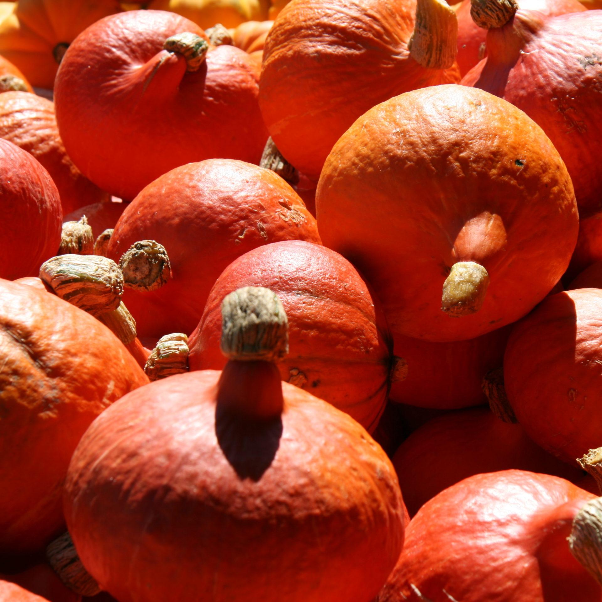 Kürbis Oranger Knirps