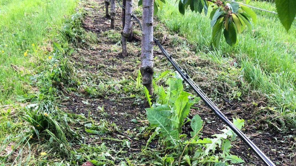 Kirschen hacken statt Herbizid