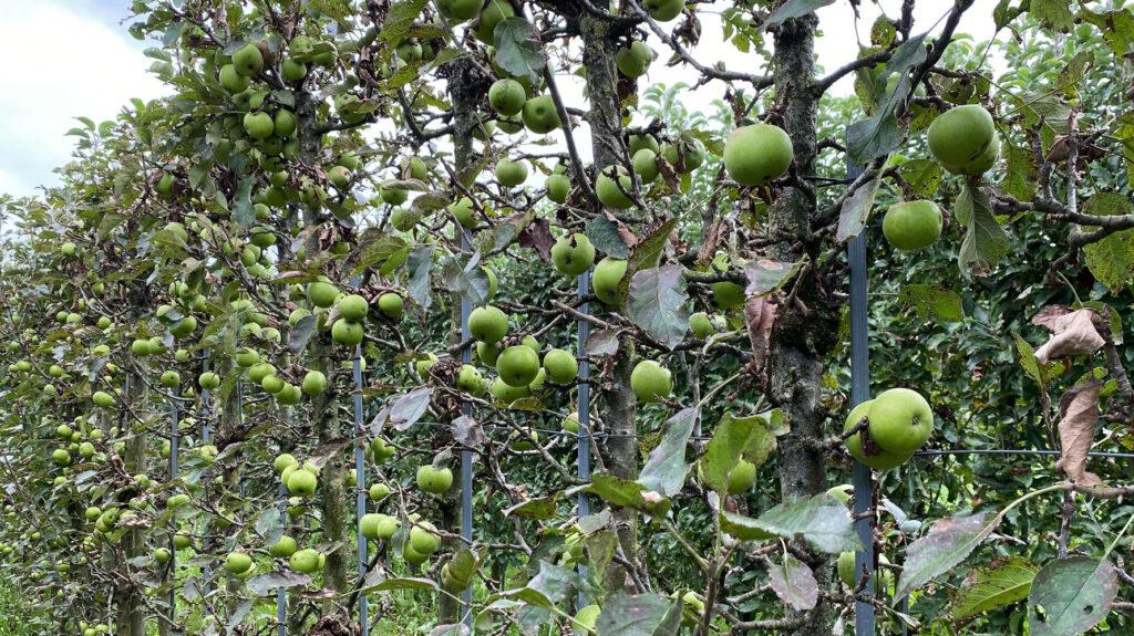 laubarme Apfelbäume von näher