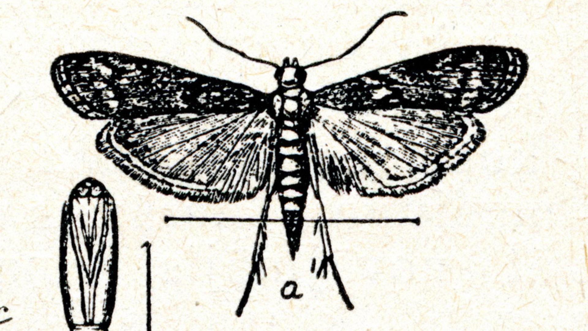 Wissenschaftliche Zeichnung Motte
