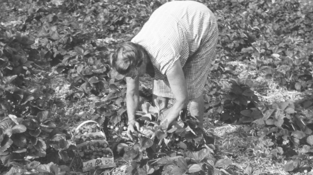Mutter Jucker im Erdbeerfeld
