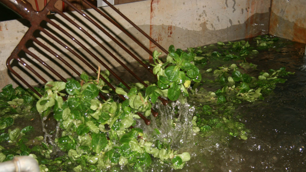 Nüsslisalat im Wasserbad