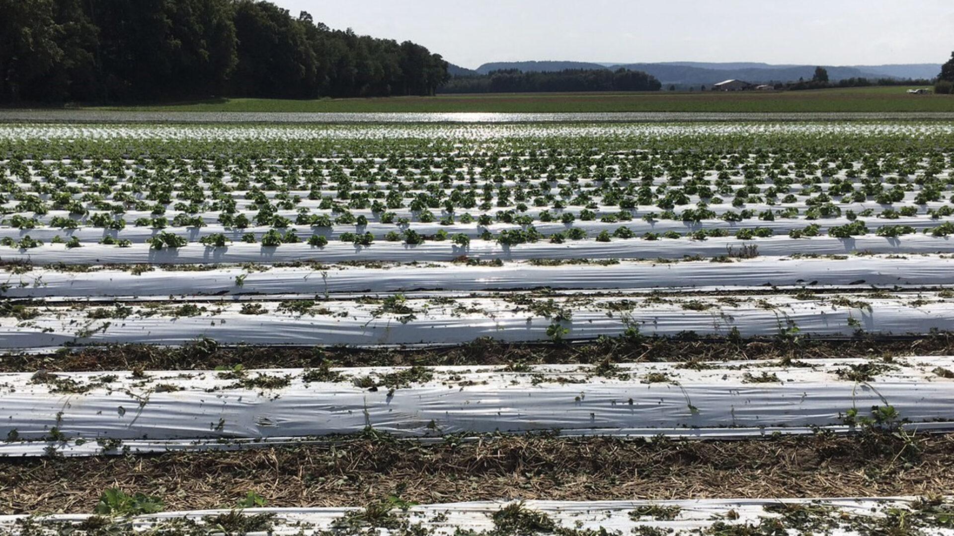 Plastikfolien Reihen Erdbeerfeld