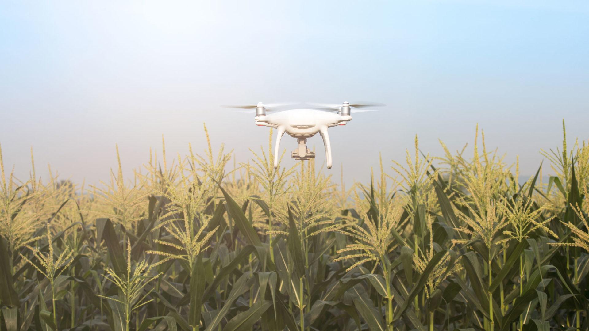 Drohne über Maisfeld