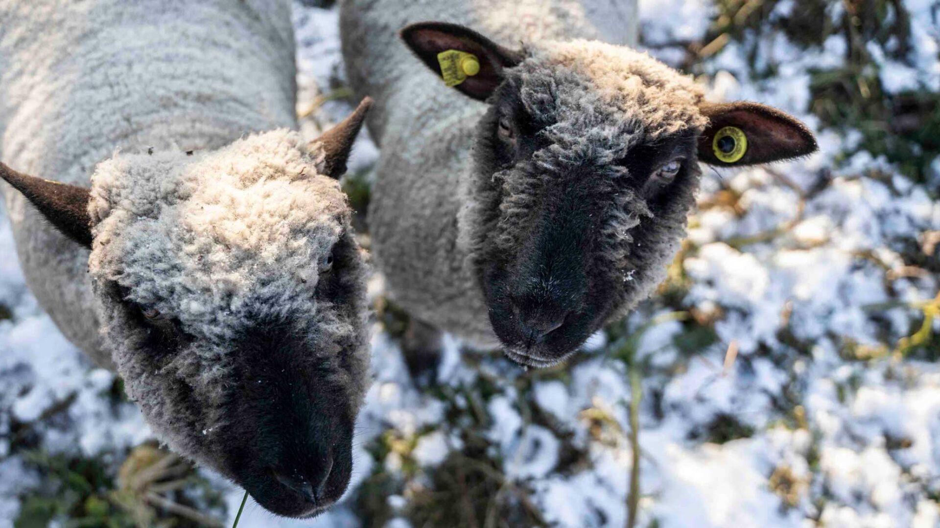 Schafe als Rasenmaeher