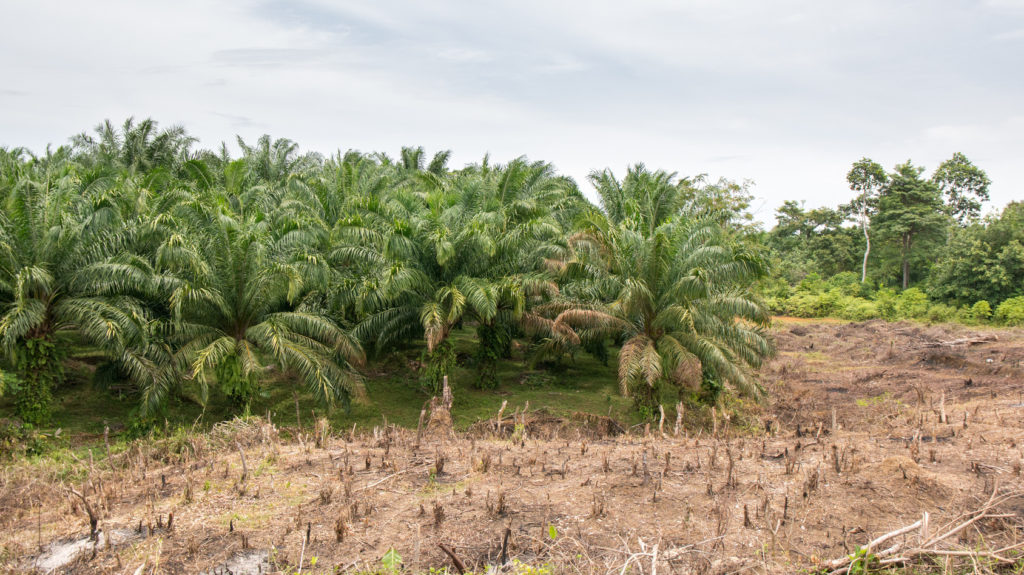 Palmlplantage Zerstrt Regenwald