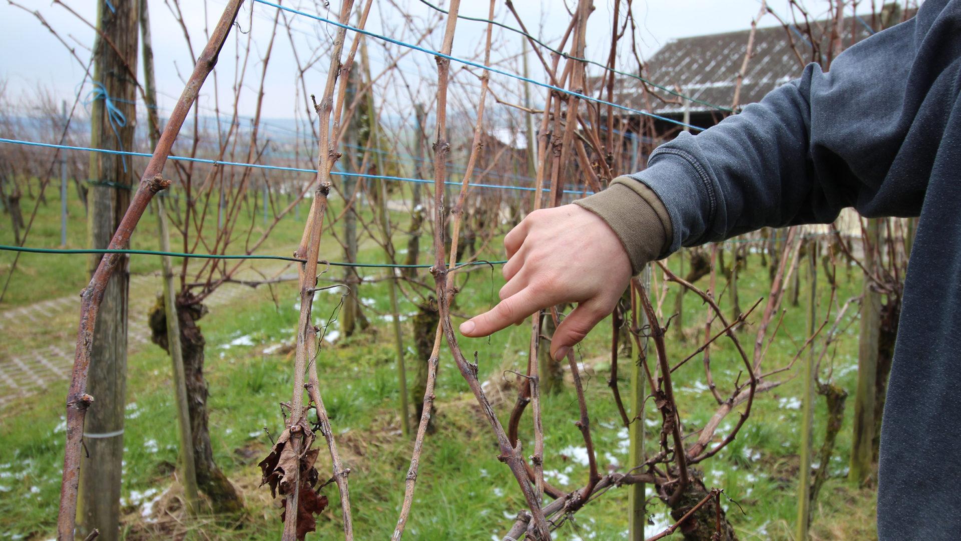 Weinbauer zeigt auf Hagelschaden