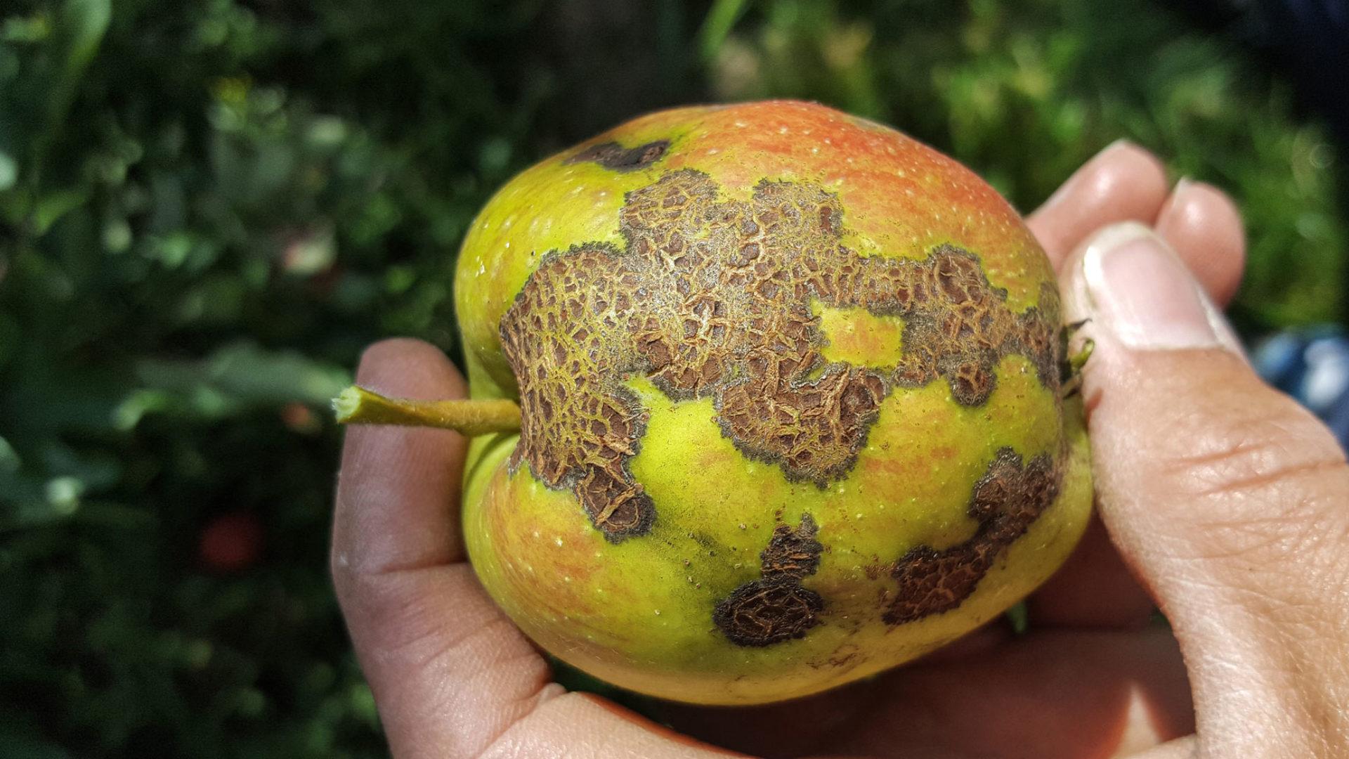 Verschorfter Apfel by Petra Hager