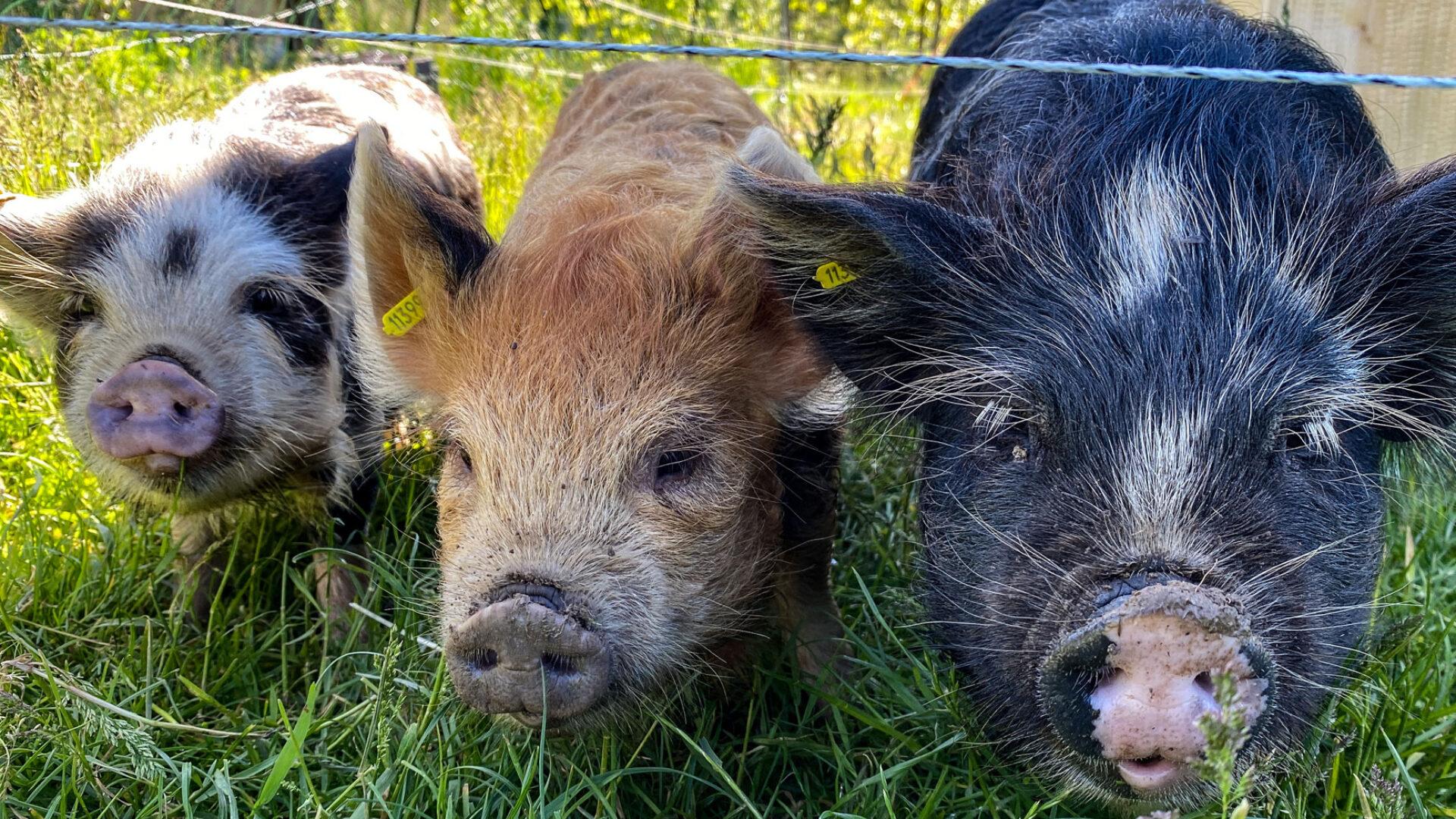 Schweinchen Trio