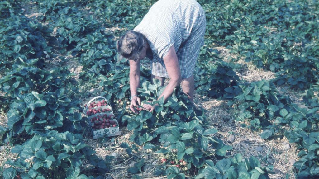 Selberpfluecken 1966 1