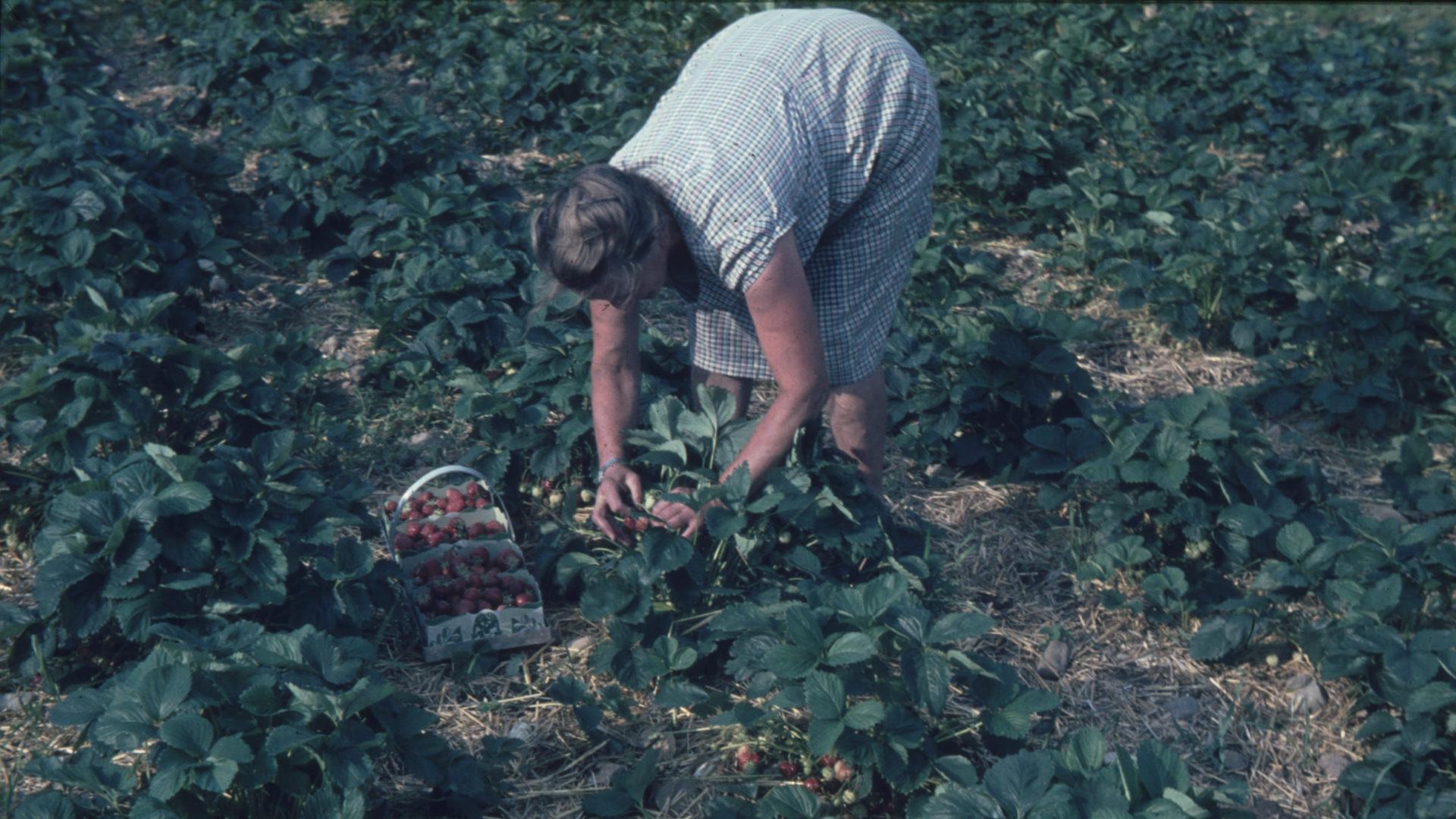 Alte Frau am Erdbeeren Pflücken