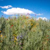 Spargelhof Nuetzlinge Biodiversitaet Hummushuegel Regenerative Landwirtschaft