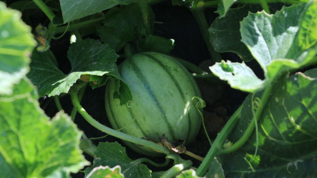 Spargelhof Melone Charentaise