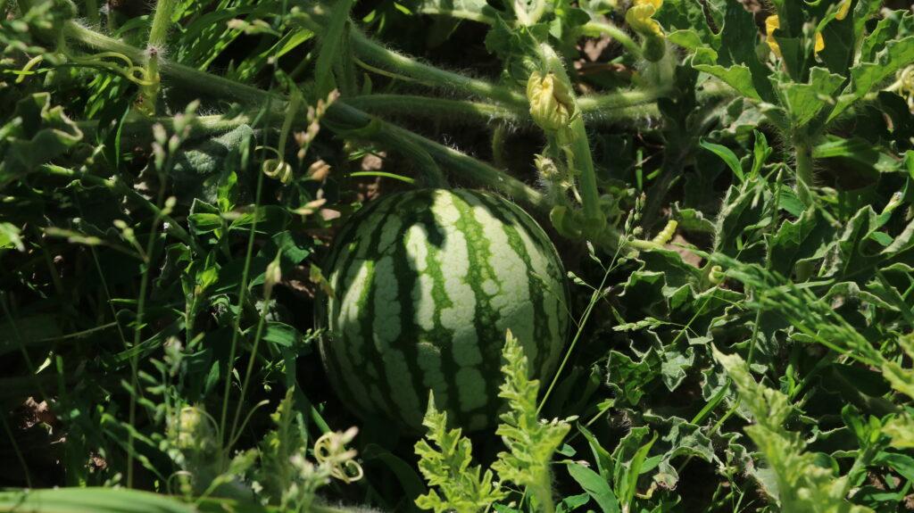 Spargelhof Wassermelone