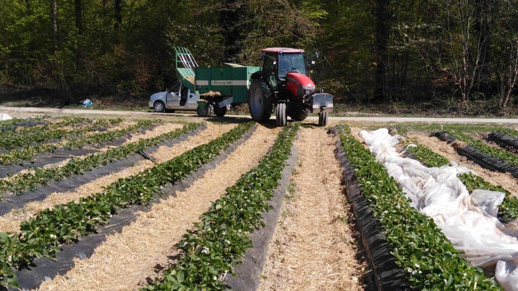 Stroh statt Herbizid